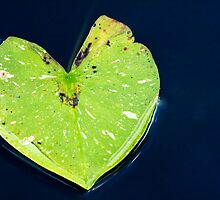 Green Heart Shaped Lily Pad on Water by jvrichardson
