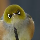 Don&#x27;t even think about it! Silvereye - Wax Eye - New Zealand by AndreaEL