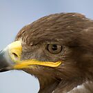 Steppe Eagle by bubblebat