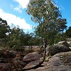 Eucalyptus tree at Hughes Creek - Victoria, Australia by Imagebydg