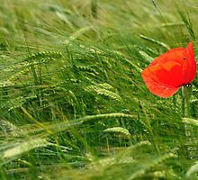 POPPY IN FIELD by fuchsphoto