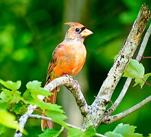Cardinal in a Tree by imagetj