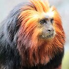 Golden Lion Tamarin (Leontopithecus chrysomelas) by DutchLumix