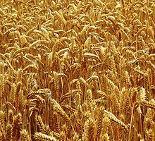 Harvest 2 - Grantham by Hairypoet