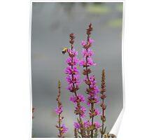 Bee Landing On Wetland Flower Poster