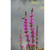 Bee Landing On Wetland Flower Photographic Print