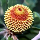 Banksia epica by andrachne