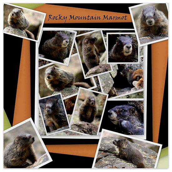 ROCKY MOUNTAIN MARMOT by Betsy  Seeton