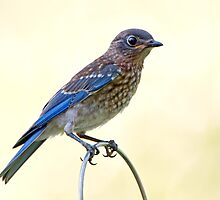 Juvenile Eastern Bluebird by Bonnie T.  Barry