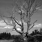 Standing Decay - an old tree by the road by Erin Fitzgibbon