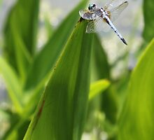 Dragon Fly on Pickerel Rush by katw0man