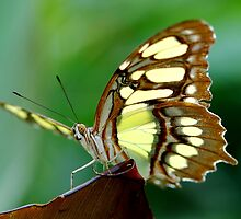 Beautiful butterfly by John Morrison