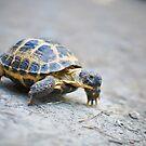 turtle by Iuliia Dumnova