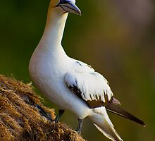 Northern Gannet (Morus bassanus) on cliff by Gabor Pozsgai