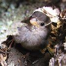 Can you see me! - Baby Sparrow - New Zealand by AndreaEL