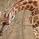 Giraffe by Dave Cauchi