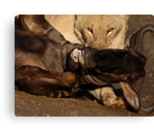 Lion and Wildebeest Tussle Canvas Print