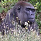 Gorilla in the grass by angeljootje