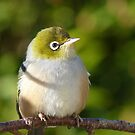 Hi My name is Ted, whats your&#x27;s? - Silvereye - Wax Eye - New Zealand by AndreaEL