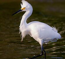 snowy egret by bettywiley