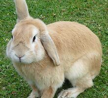 A Sneaky Shot Of A Cross Breed Lop/Dwarf Rabbit by Liam Hill