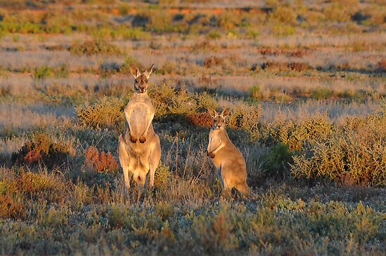 Kangaroos by Rod Wilkinson