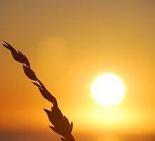 Sea Oat Sunrise by mcvolleyangl