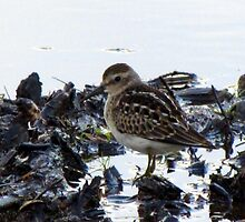 Baby Sandpiper  by Rose Gallik