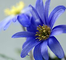 Blue Anemone by OpalFire