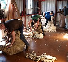 Shearing time by Julie Sleeman