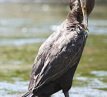 Juvenile Double-crested Cormorant by DigitallyStill