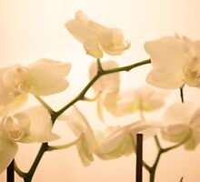 a flight of orchids by Dawn Dexter