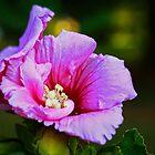 Morning Rose of Sharon by Susan Blevins