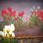 Tulips Behind The Fence by Linda Miller Gesualdo