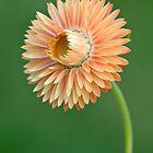 Peach Strawflower by Ellen McKnight