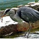 Heron fishing by Caroline Anderson