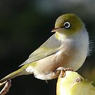 My new Hair do! Silvereye - Wax Eye - New Zealand by AndreaEL