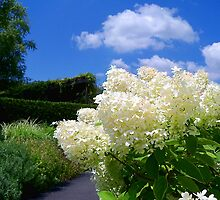 Clouds of Hydrangea by Brian Gaynor