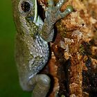 Common Milk Treefrog (Trachycephalus venulosa) - Bolivia by Jason Weigner