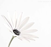 Daisy White Delight by garts