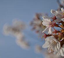 Cherry Blossom Sunday by bluemoondc