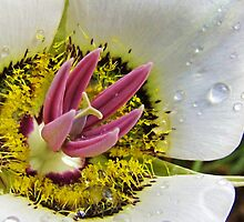 Mariposa Lily Detail by Bill Hendricks