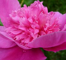 The Peony's Tears by Lucinda Walter