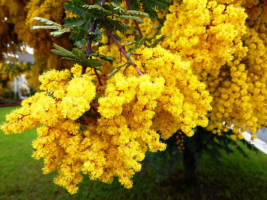 Wattle flower heavy on the tree. 2012 by EdsMum