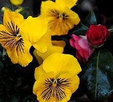 Yellow Pansies by RebeccaWeston