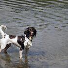 Springer Spaniel in Water by Chris Monks