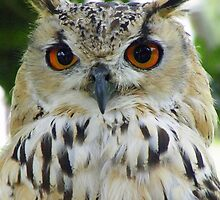 Bengal Eagle Owl by Rob Parsons