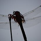 Dragonfly on a Japanese Maple II by zpawpaw