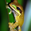 Masked Treefrog (Smilisca phaeota) - Costa Rica by Jason Weigner