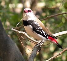 Diamond Firetail by Trish Meyer